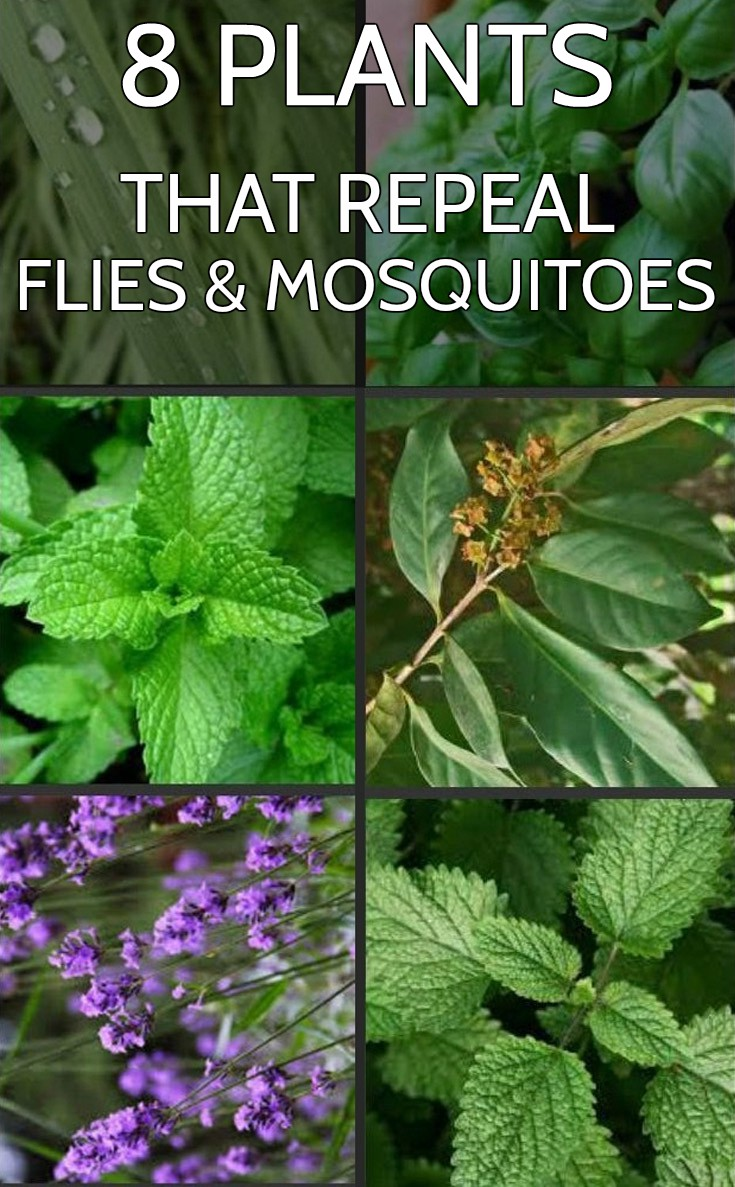 8 Plants That Repeal Flies And Mosquitoes Gardentipz Com