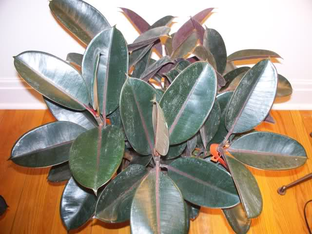How To Grow A Rubber Tree Properly Essential Care
