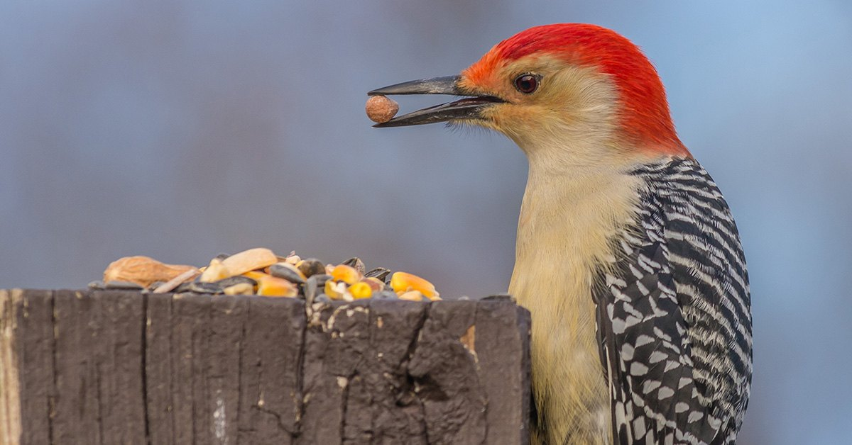 Safe Methods To Get Rid Of Woodpeckers Without Harming