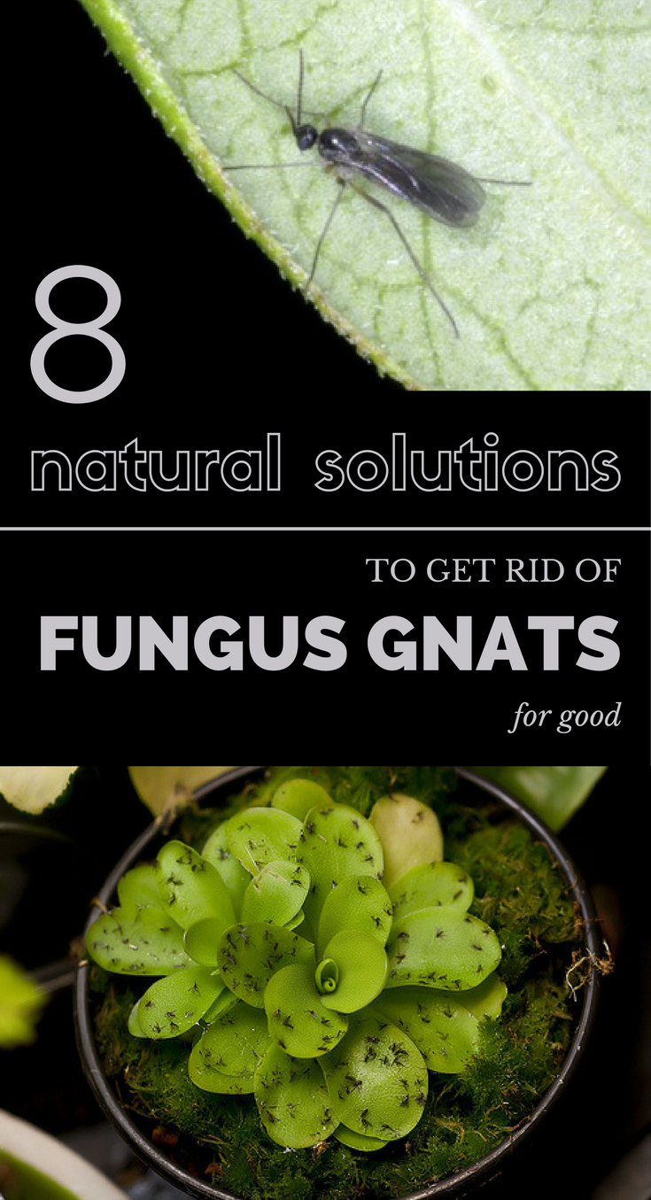 8 natural solutions to get rid of fungus gnats for good. Black Bedroom Furniture Sets. Home Design Ideas