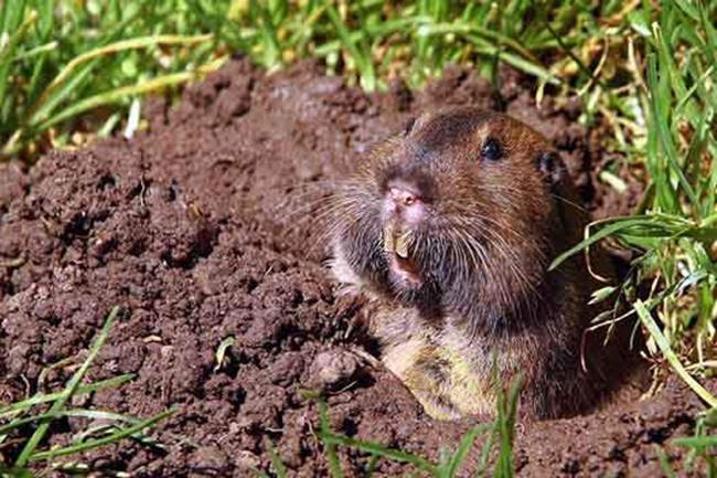 5 Efficient Ways To Get Rid Of Pocket Gophers - GardenTipz.com
