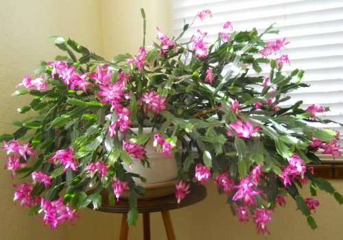 Where Can I Buy A Christmas Cactus