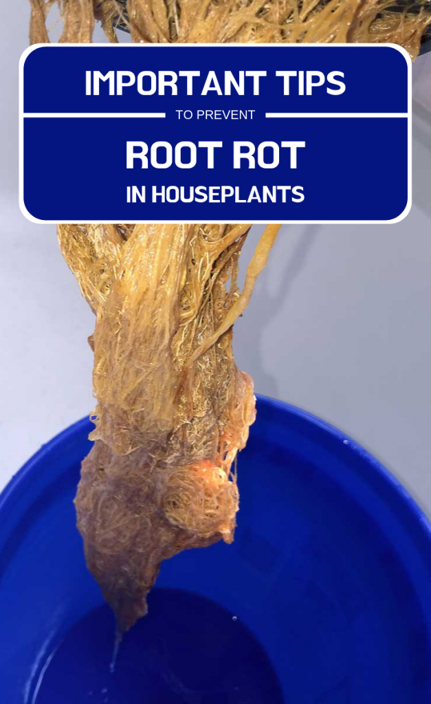 Important Tips To Prevent Root Rot In Houseplants - GardenTipz.com on house plant leaf blight, house plant insects, corn house plant rot, house plant scale, house plant fungus, house plant caterpillars, house plant mold, house plant nutrient deficiency, house plant virus, house plant snails, house plant leaf spots,