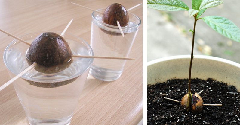 How To Grow Avocado Tree From Seed In Containers ...