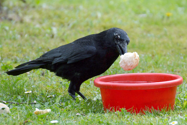 Humane Tricks To Send Those Creepy Crows Away From Your ...
