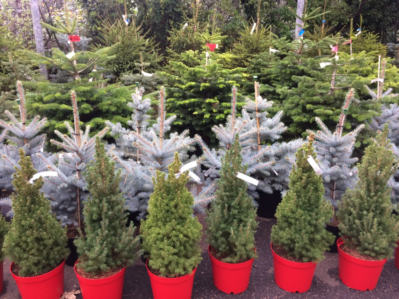 How To Water A Potted Christmas Tree To Enjoy Its Fresh Scent Beyond Holidays - GardenTipz.com